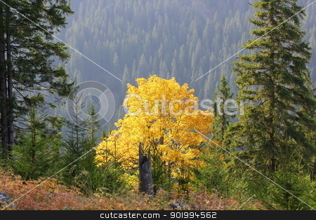 maple tree in fall stock photo, beautiful maple tee in golden colors of autumn by coroiu octavian