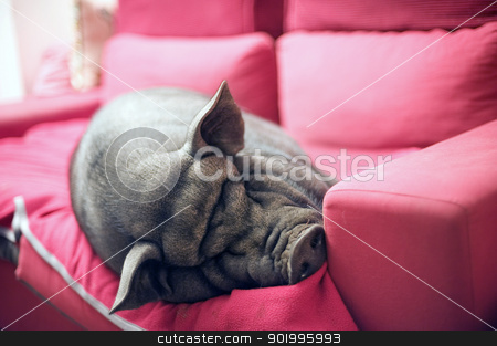 black piggy on sofa stock photo, big black piggy on a pink sofa by Bonzami Emmanuelle