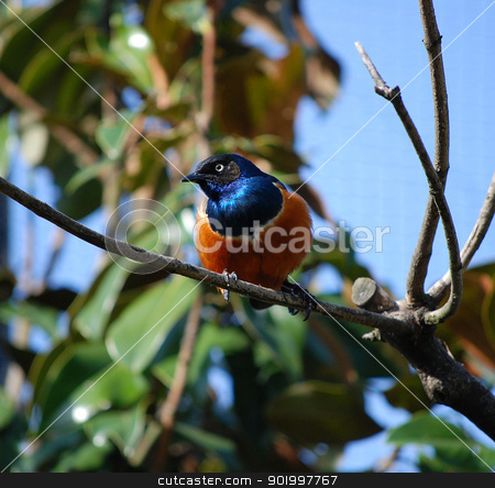 Superb starling  stock photo, Superb starling with bright plumage on a bare branch by Sarah Marchant