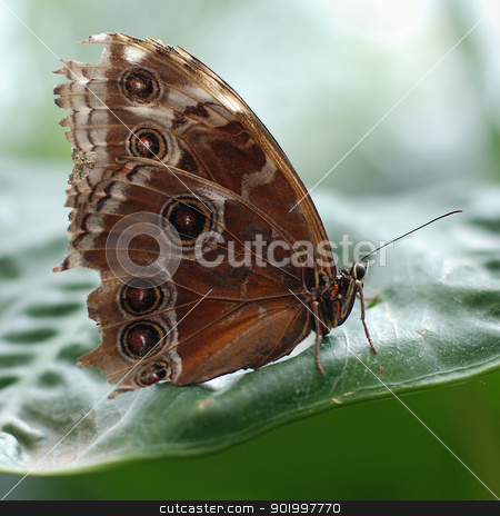 Northern Pearl Eye butterfly  stock photo, Northern Pearl Eye butterfly with closed wings on a large green leaf by Sarah Marchant