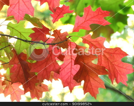 red maple leaves stock photo, beautiful red maple leaves in fall by coroiu octavian