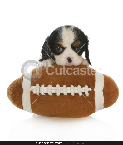 sports hound stock photo, sports hound - cavalier king charles spaniel puppy with a stuffed football isolated on white background by John McAllister