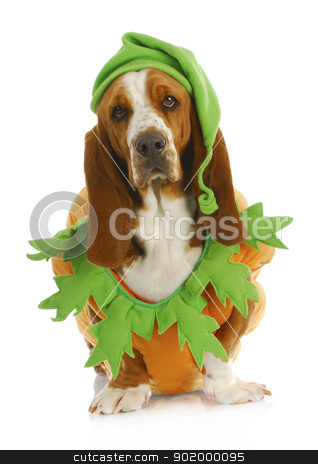 dog dressed up for halloween stock photo, dog dressed up for halloween - basset hound wearing pumpkin costume sitting on white background by John McAllister