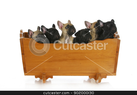 litter of puppies stock photo, litter of puppies - french bulldog puppies in a cradle - 8 weeks old by John McAllister