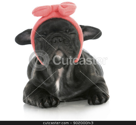 cute puppy stock photo, cute female puppy - french bulldog puppy wearing pink head band making silly face - 8 weeks old by John McAllister