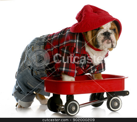 puppy in a wagon stock photo, bulldog puppy in a red wagon by John McAllister