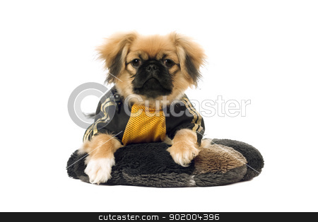 Pekingese lying on the pillow. Isolated on white stock photo, Pekingese lying on the pillow. Isolated on white background by Sergii Sukhorukov