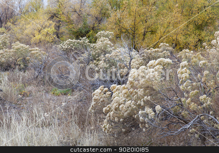 rabbitbrush and cottonwood  stock photo, rabbitbrush, dry grass and cottonwood along Cache la Poudre River in Fort Collins, Colorado, late fall scenery by Marek Uliasz