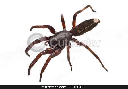 white tip spider stock photo, The infamous Australian white tip spiders preferred prey is other spiders and they are equipped with some serious venom for hunting. by mojojojo