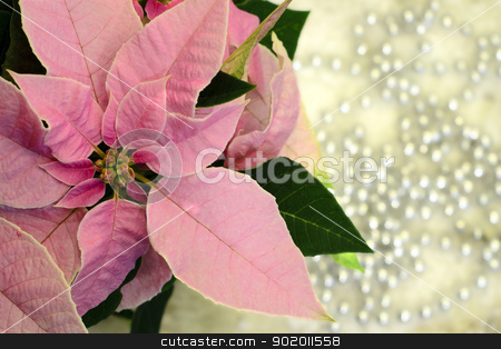 Christmas star... stock photo, Pink poinsettia Christmas star flower with silver pearls ornaments in background by Seija Pekkarinen