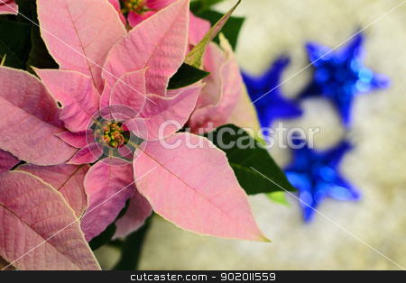 Pink poinsettia flower... stock photo, Pink poinsettia Christmas star flower with three blue ornaments in background by Seija Pekkarinen