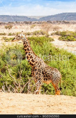 Free Giraffe in Kenya stock photo, Kenya, Tsavo East National Park. Free giraffe in sunset light. by Perseomedusa