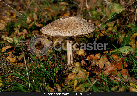 Parasol mushroom among grass and leaves stock photo, Large parasol mushroom surrounded by grass and autumn leaves by Sarah Marchant