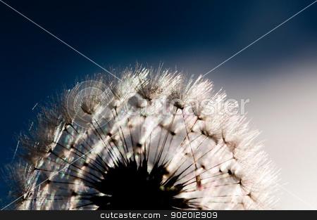 Dandelion stock photo, A dandelion has gone to seed. by Joe Tabb
