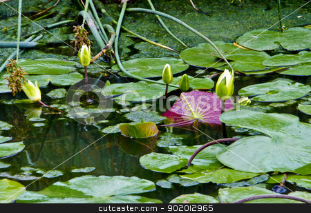 Lily Pads in Pond stock photo, Lily pads make their home in this pond. by David Valdez