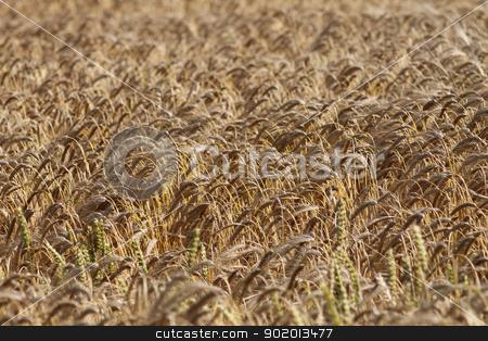 Background of ripe corn field stock photo, Background of ripe corn field blowing in the wind. by Martin Crowdy