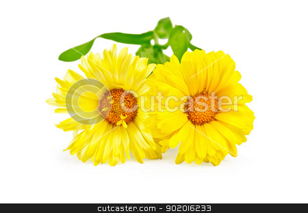 Calendula yellow stock photo, Two yellow calendula with green leaves isolated on white background by rezkrr