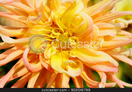 Yellow Dahlia Macro stock photo, Close up of a Yellow and Red Dahlia with wild petals by bobkeenan