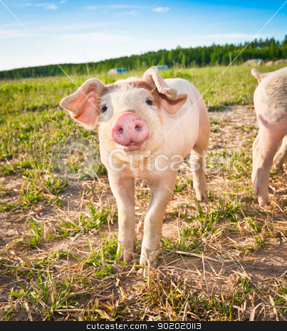 Baby pig stock photo, A baby pig on a pigfarm in Dalarna, Sweden by Tommy Alsén