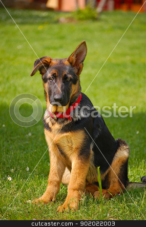 German Shepherd Puppy stock photo, Perplexed puppy german shepherd sitting on green grass by catalby
