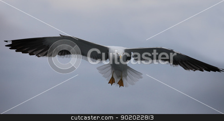 seagull the flying  stock photo, white seagull the flying in the sky by mrivserg