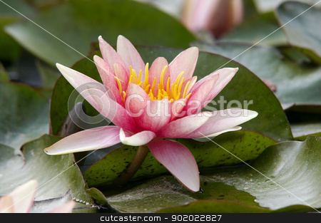 waterlily stock photo, Detail of the waterlilly - water flower by Siloto