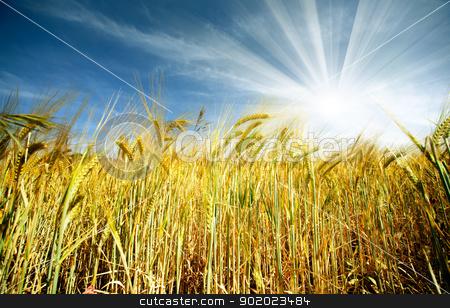 wheat field stock photo, Idyllic wheat field and sunshine by carloscastilla