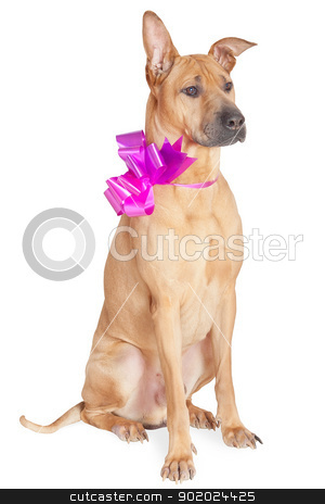 Dog with bow stock photo, Studio portrait of dog with bow.Isolated on white. by Yulia Chupina