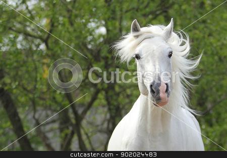 Orlov trotter stock photo, The Orlov trotter named Kunzhut - prize winner of the St. Petersburg International Horse Exhibition