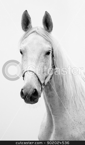 Hannoverian mare stock photo, Black and white portrait of Hannoverian mare by Yulia Chupina