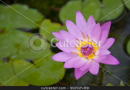 Water Lily stock photo, Closeup of a purple Water lily in a pond. by bigjom