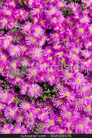 Lots of pink colorful mesembryanthemums (ice plant) flowers.  stock photo, Lots of pink colorful mesembryanthemums (ice plant) flowers.  by Stephen Rees