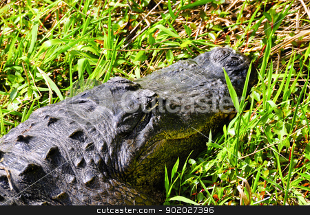 American Alligator stock photo, An American alligator resting in the grass. by Bonnie Fink