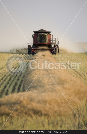 Combing Wheat stock photo, Combing Wheat in Saskatchewan Canada Swathes in rows by Mark Duffy