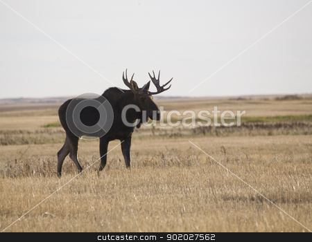 Prairie Moose stock photo, Prairie Moose in field in Saskatchewan Canada by Mark Duffy