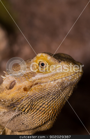 Bearded dragons stock photo, Close-up of Bearded dragons eye (Pogona vitticeps) by Jozsef Demeter