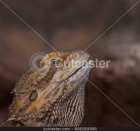 Close-up of Bearded dragons eye (Pogona vitticeps) stock photo, Close-up of Bearded dragons eye (Pogona vitticeps) by Jozsef Demeter