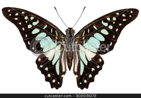 butterfly species Graphium bathycles stock photo, butterfly species Graphium bathycles isolated on white background by paulrommer