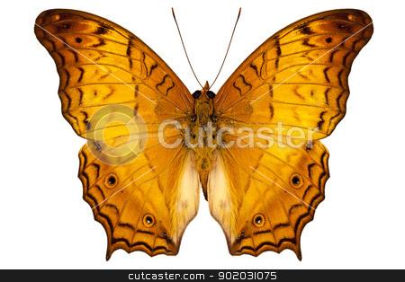 butterfly species Vindula dejone austrosundana stock photo, butterfly species Vindula dejone austrosundana isolated on white background by paulrommer