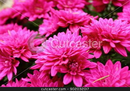 detail of pink chrysanthemum stock photo, detail of pink beautiful colored chrysanthemum bouquet by coroiu octavian