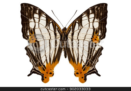 Butterfly species Cyrestis lutea martini stock photo, Butterfly species Cyrestis lutea martini isolated on white background by paulrommer