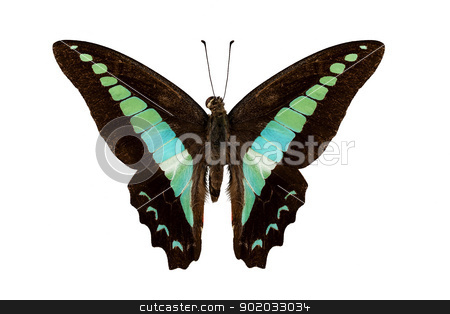 Butterfly species Graphium sarpedon stock photo, Butterfly species Graphium sarpedon isolated on white background by paulrommer