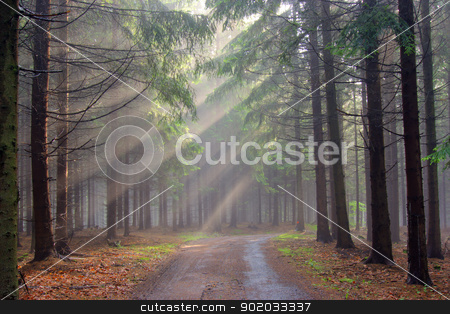 conifer forest in fog stock photo, Image of the conifer forest in the early morning - a film of mist by Siloto
