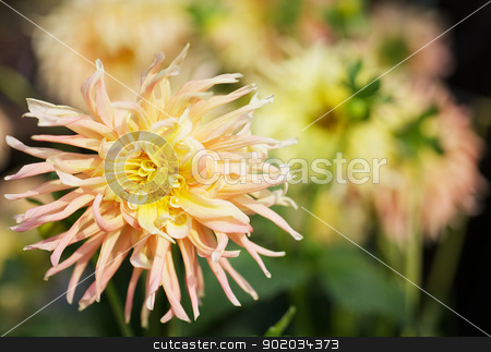 Yellow Dahlia with background stock photo, Close up of a Yellow and pink Dahlia with wild petals and soft flower background by bobkeenan