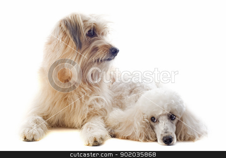 Pyrenean sheepdog and poodle stock photo, portrait of a pyrenean sheepdog and poodle in front of a white background by Bonzami Emmanuelle