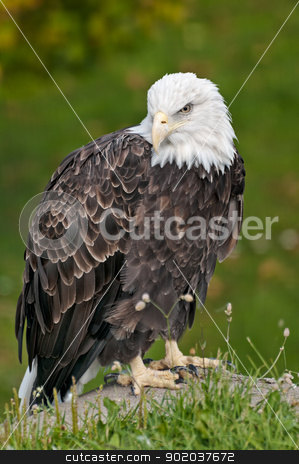 bald eagle in sitting position stock photo, bald eagle sitting on rock in front of green shrubsba by Ulrich Schade