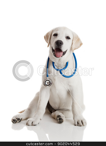 Veterinarian dog stock photo, Beautiful labrador retriever with a stethoscope on his neck, isolated on white by ikostudio