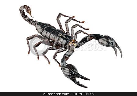palamnaeus fulvipes stock photo, Black scorpion species palamnaeus fulvipes from Malaysia isolated on white background by paulrommer