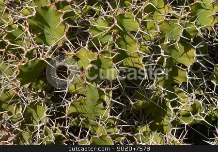 Cactus texture/background. Some species of opuntia stock photo, Cactus texture/background. Some species of opuntia. Jardin de Cactus, Lanzarote, Canary Islands, Spain. by Kaja Twardy