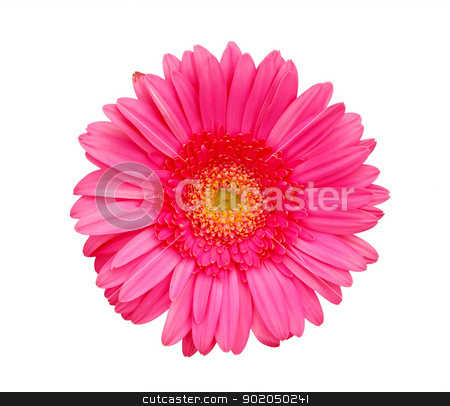 Pink gerber stock photo, Flower of pink gerber isolated on white by Borislav Marinic